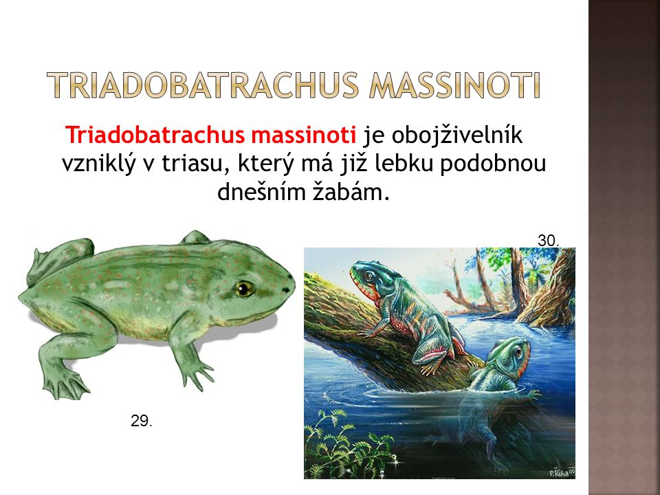 Triadobatrachus massinoti