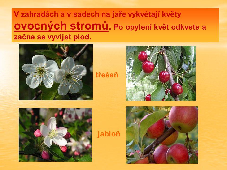 V zahradách a v sadech na jaře vykvétají květy ovocných stromů