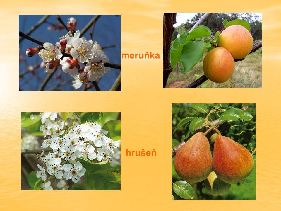 meruňka hrušeň