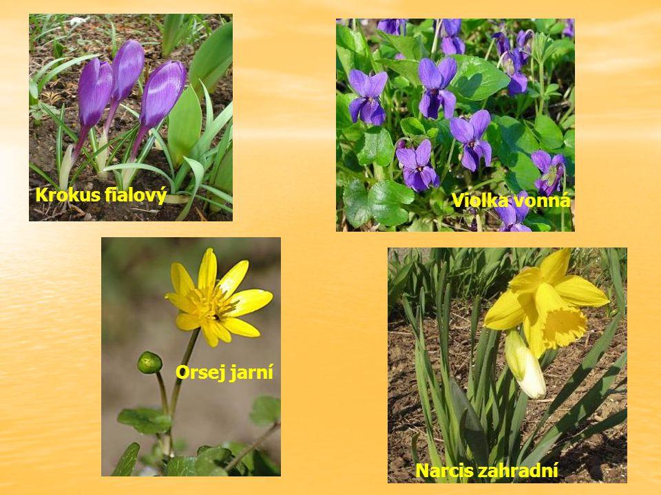 Krokus fialový Violka vonná Orsej jarní Narcis zahradní