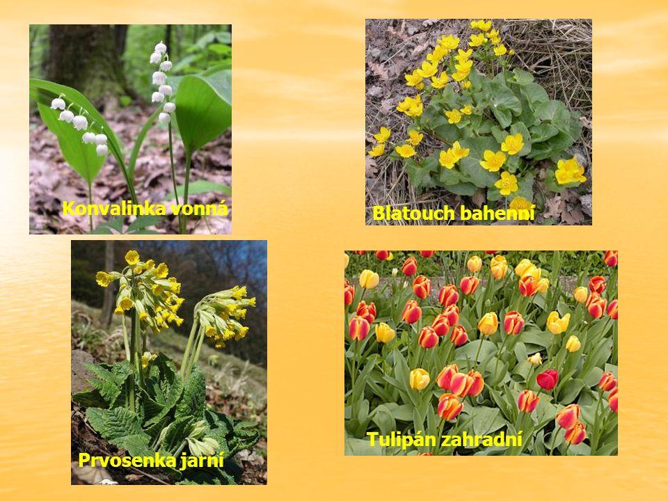 Konvalinka vonná Blatouch bahenní Tulipán zahradní Prvosenka jarní