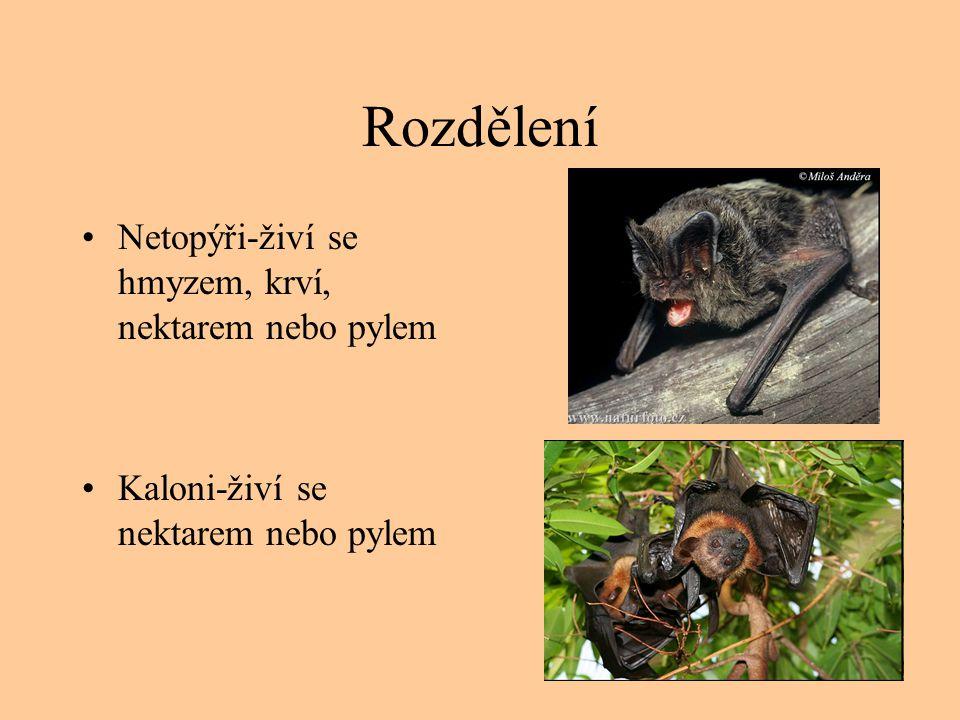 Rozdělení Netopýři-živí se hmyzem, krví, nektarem nebo pylem