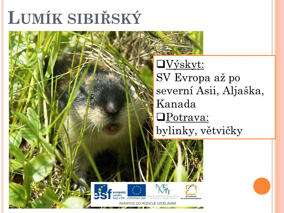 Lumík sibiřský Výskyt: SV Evropa až po severní Asii, Aljaška, Kanada