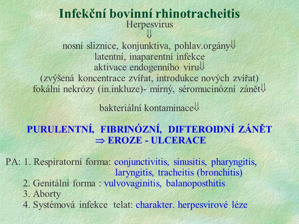 Infekční bovinní rhinotracheitis