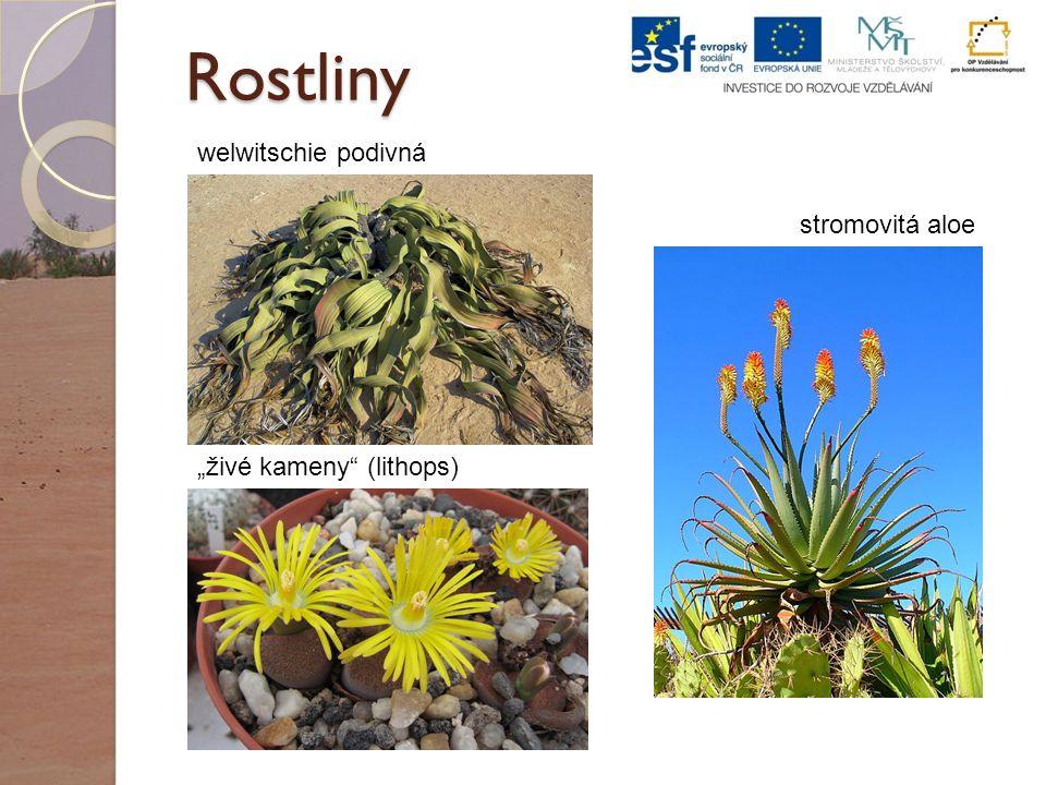 """Rostliny welwitschie podivná stromovitá aloe """"živé kameny (lithops)"""