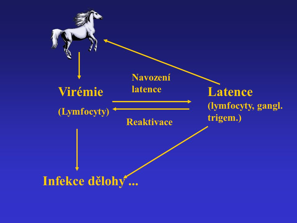 Latence (lymfocyty, gangl. trigem.)