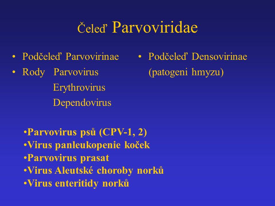 Čeleď Parvoviridae Podčeleď Parvovirinae Rody Parvovirus Erythrovirus