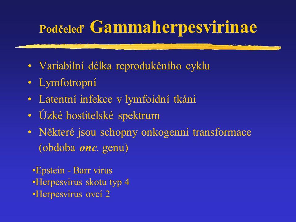 Podčeleď Gammaherpesvirinae