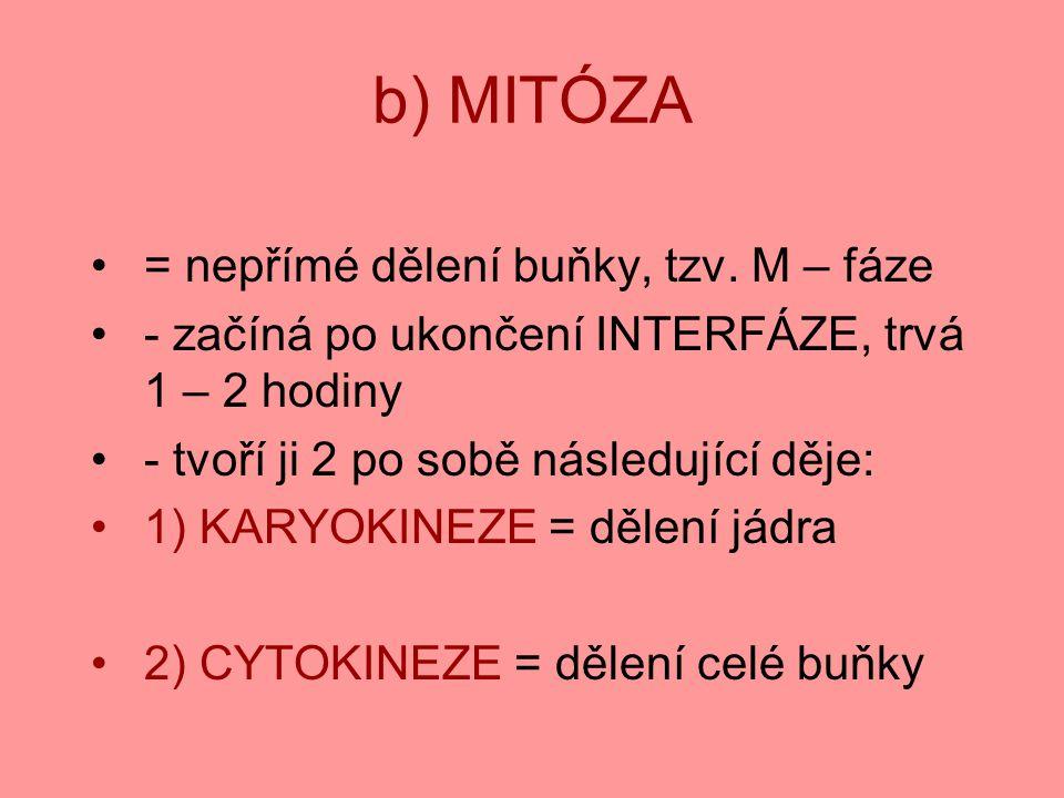 b) MITÓZA = nepřímé dělení buňky, tzv. M – fáze