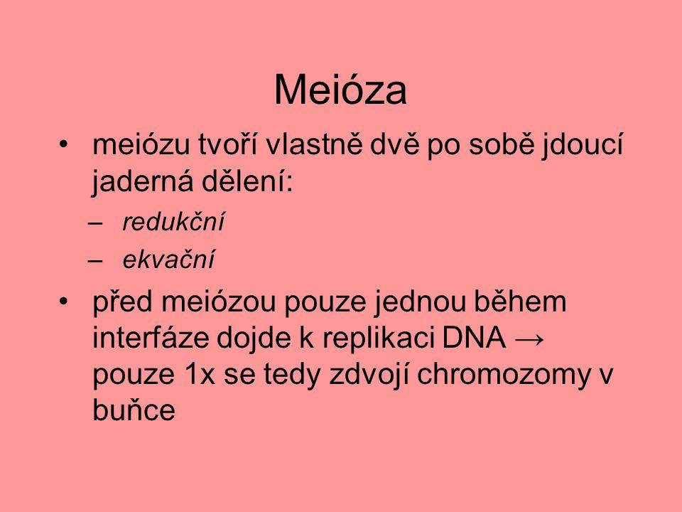 Meióza meiózu tvoří vlastně dvě po sobě jdoucí jaderná dělení: