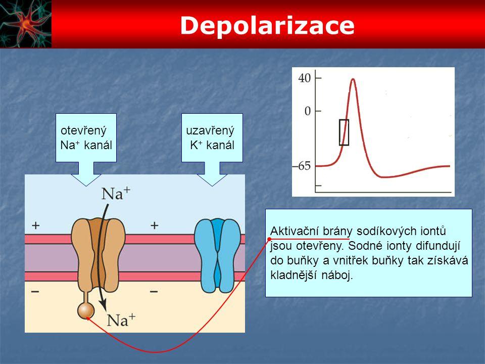 Depolarizace otevřený Na+ kanál uzavřený K+ kanál