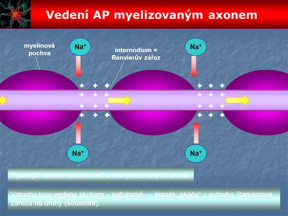 Vedení AP myelizovaným axonem
