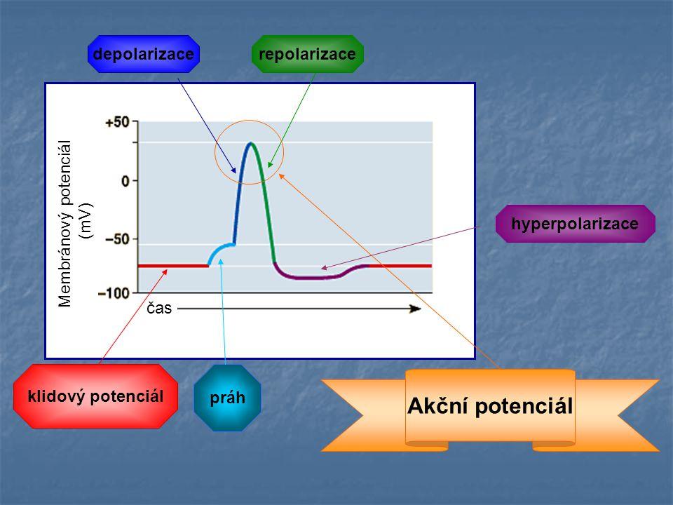 Akční potenciál depolarizace repolarizace Membránový potenciál (mV)