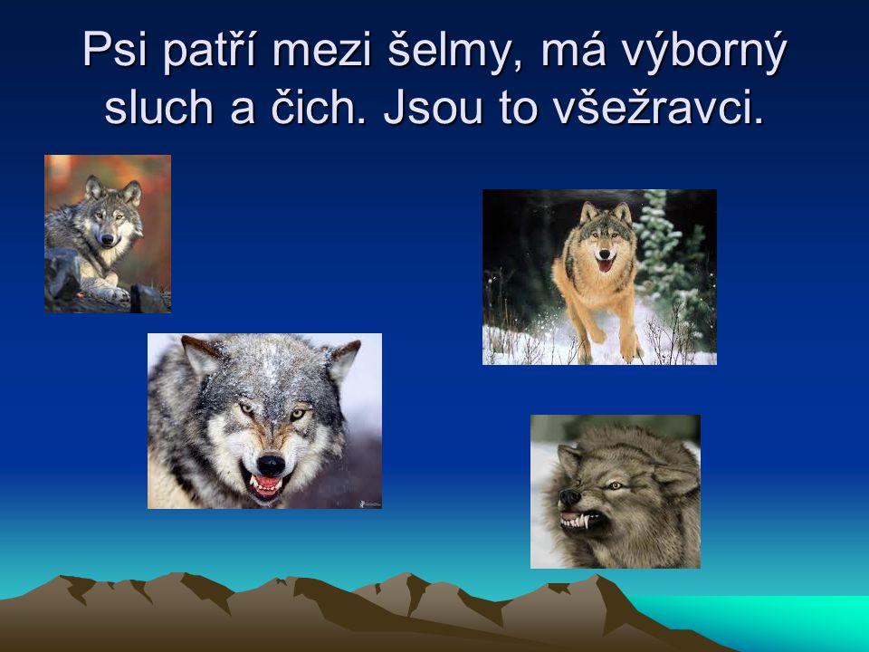 Psi patří mezi šelmy, má výborný sluch a čich. Jsou to všežravci.