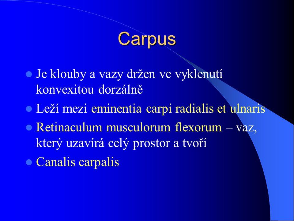 Carpus Je klouby a vazy držen ve vyklenutí konvexitou dorzálně