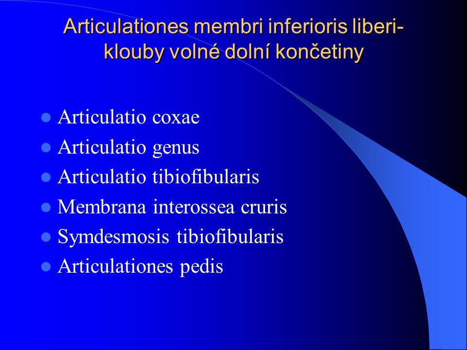Articulationes membri inferioris liberi- klouby volné dolní končetiny