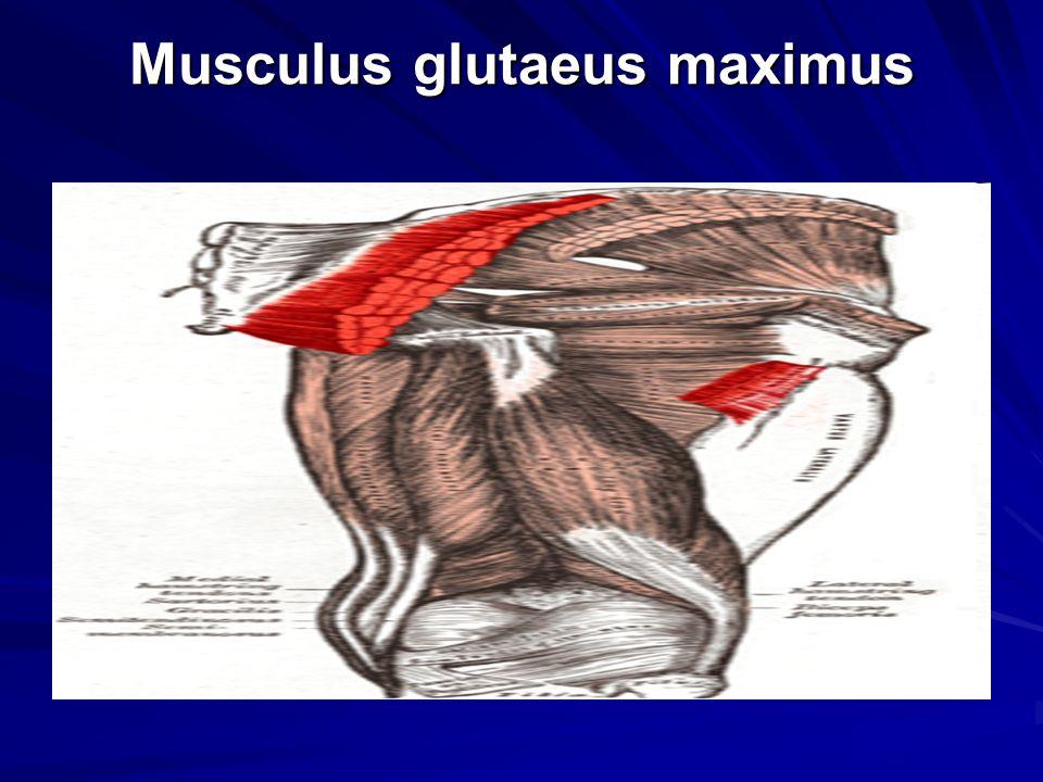 Musculus glutaeus maximus