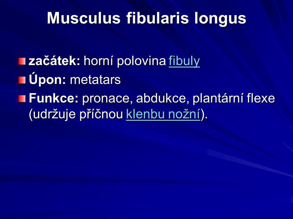 Musculus fibularis longus