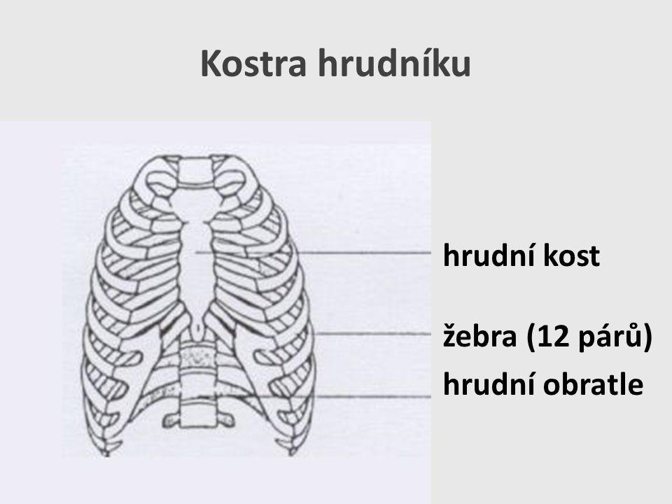 Kostra hrudníku hrudní kost žebra (12 párů) hrudní obratle