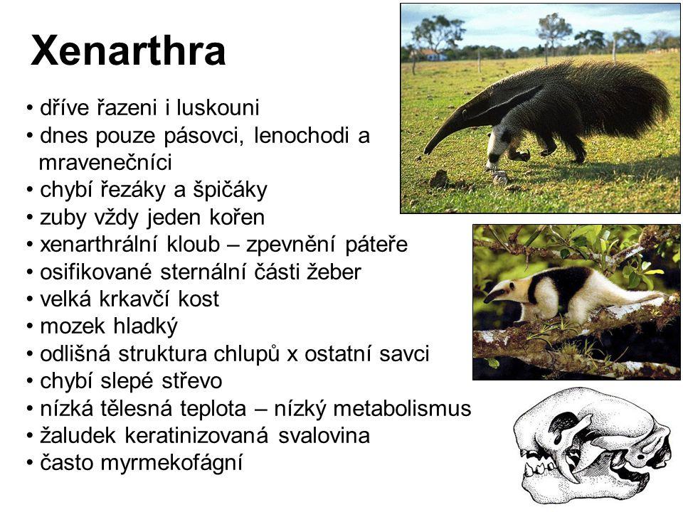 Xenarthra dříve řazeni i luskouni dnes pouze pásovci, lenochodi a