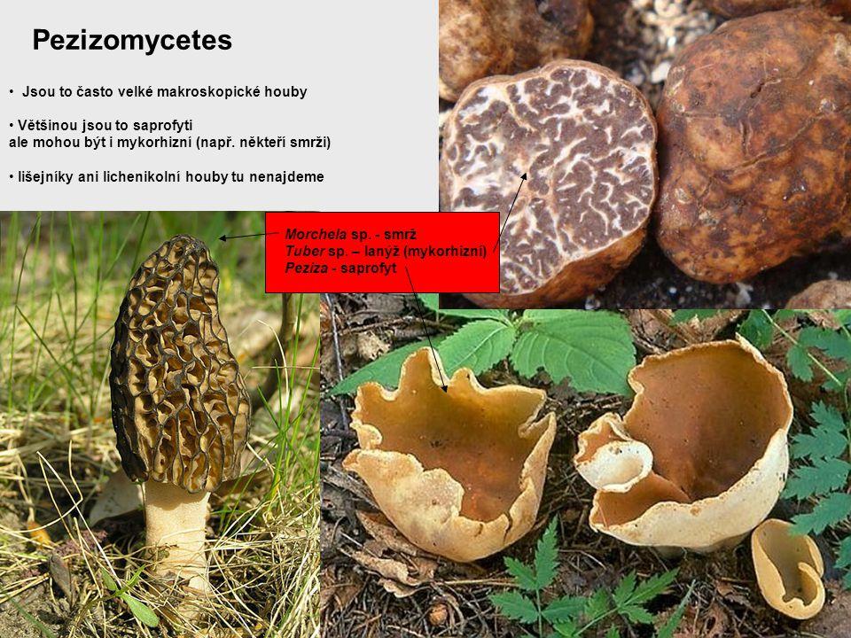 Pezizomycetes Jsou to často velké makroskopické houby