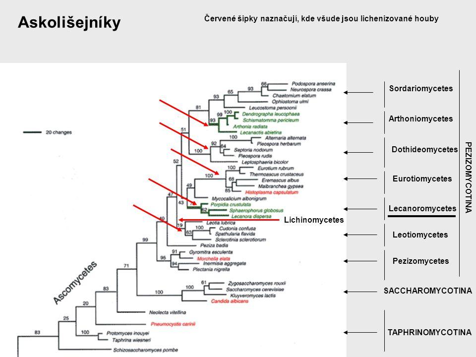 Askolišejníky Červené šipky naznačují, kde všude jsou lichenizované houby. Sordariomycetes. Arthoniomycetes.