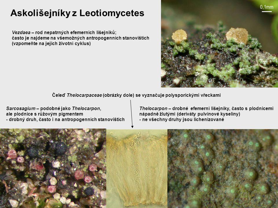 Askolišejníky z Leotiomycetes