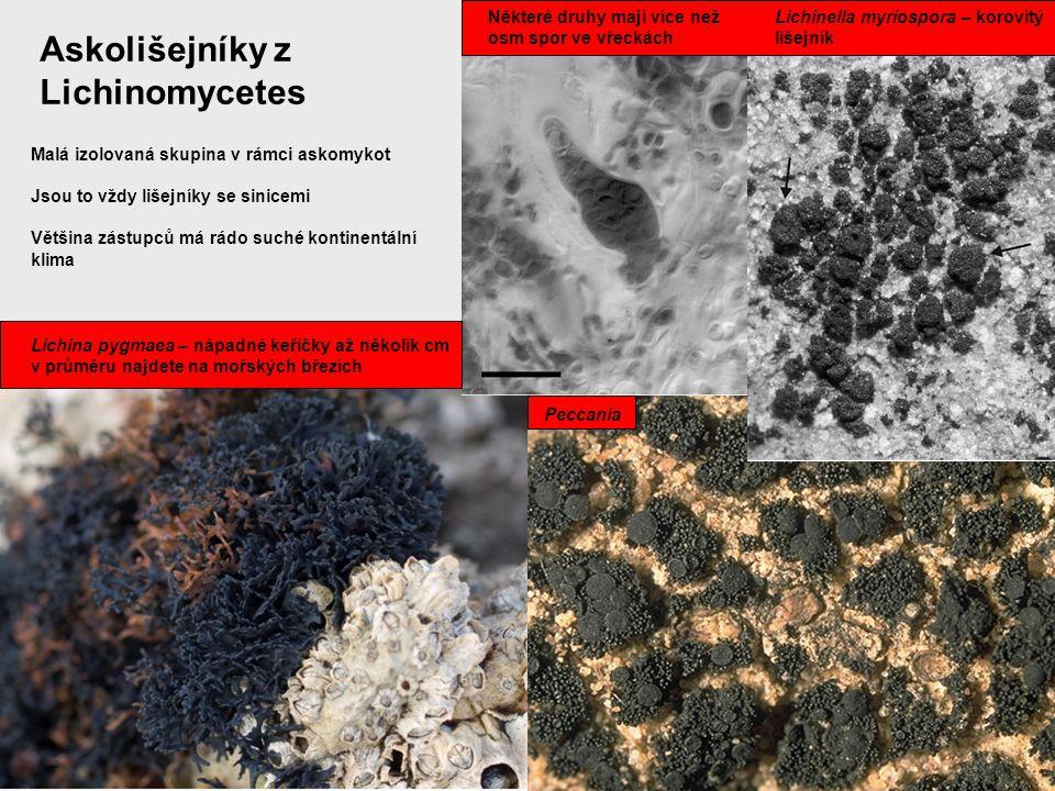 Askolišejníky z Lichinomycetes Některé druhy mají více než