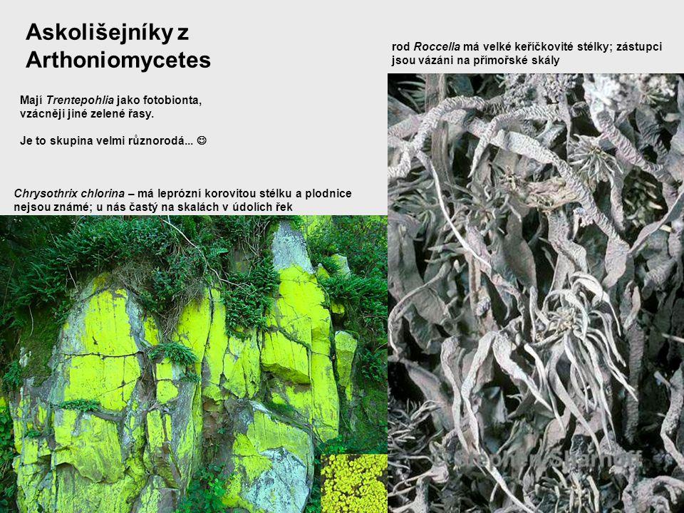 Askolišejníky z Arthoniomycetes