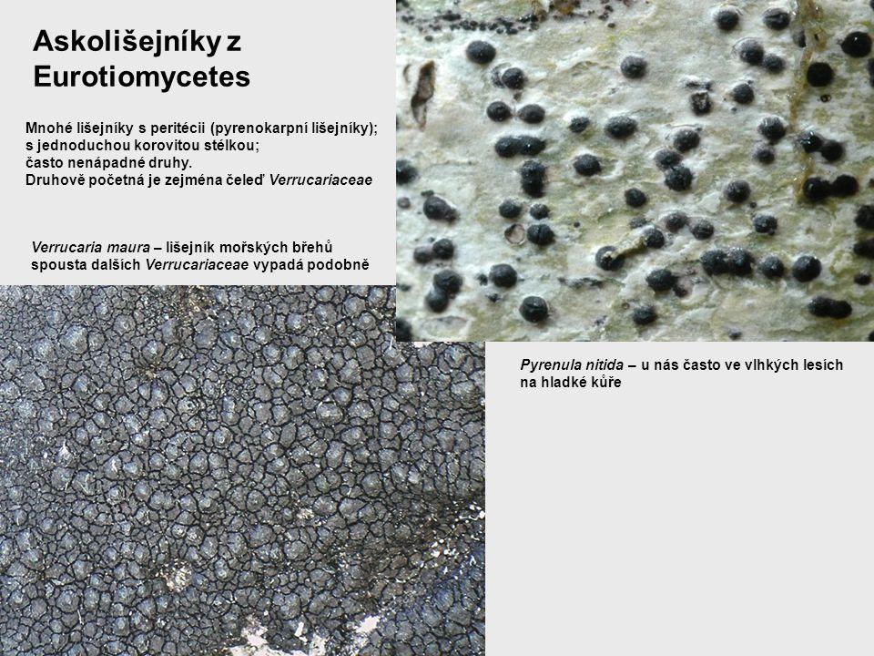 Askolišejníky z Eurotiomycetes
