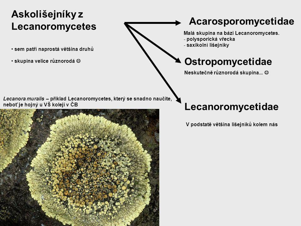 Askolišejníky z Lecanoromycetes Acarosporomycetidae Ostropomycetidae