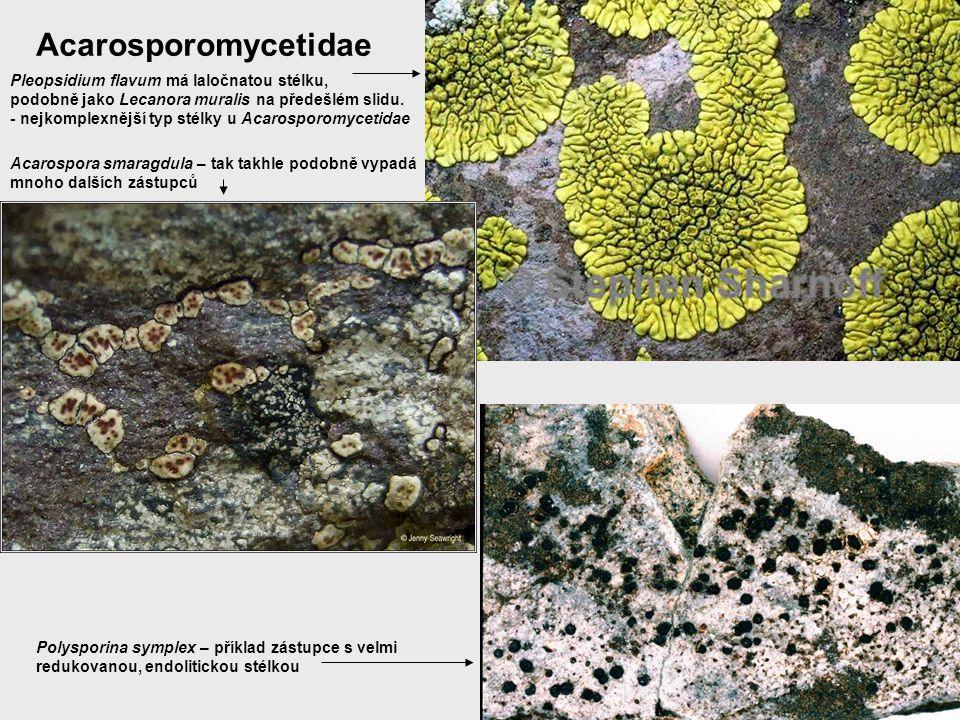 Acarosporomycetidae Pleopsidium flavum má laločnatou stélku,