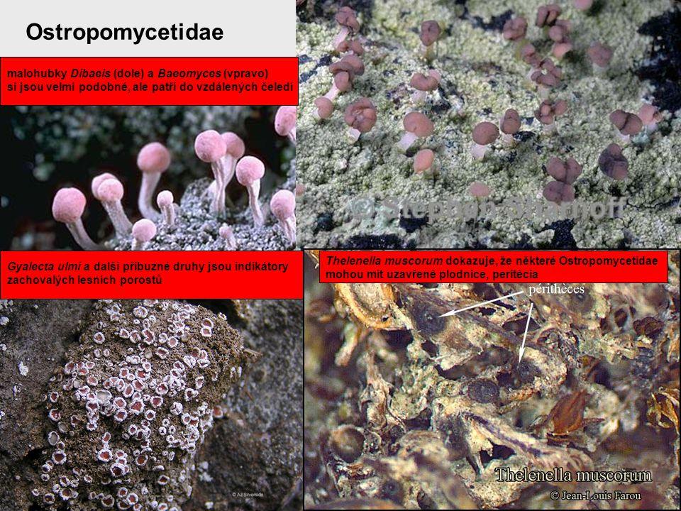 Ostropomycetidae malohubky Dibaeis (dole) a Baeomyces (vpravo)