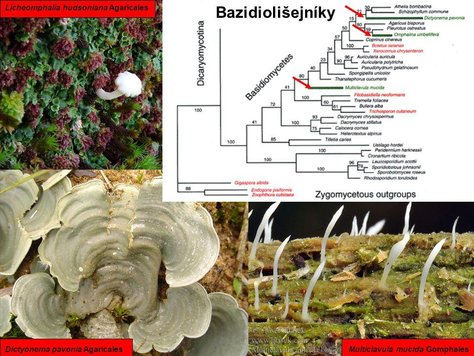 Bazidiolišejníky Licheomphalia hudsoniana Agaricales