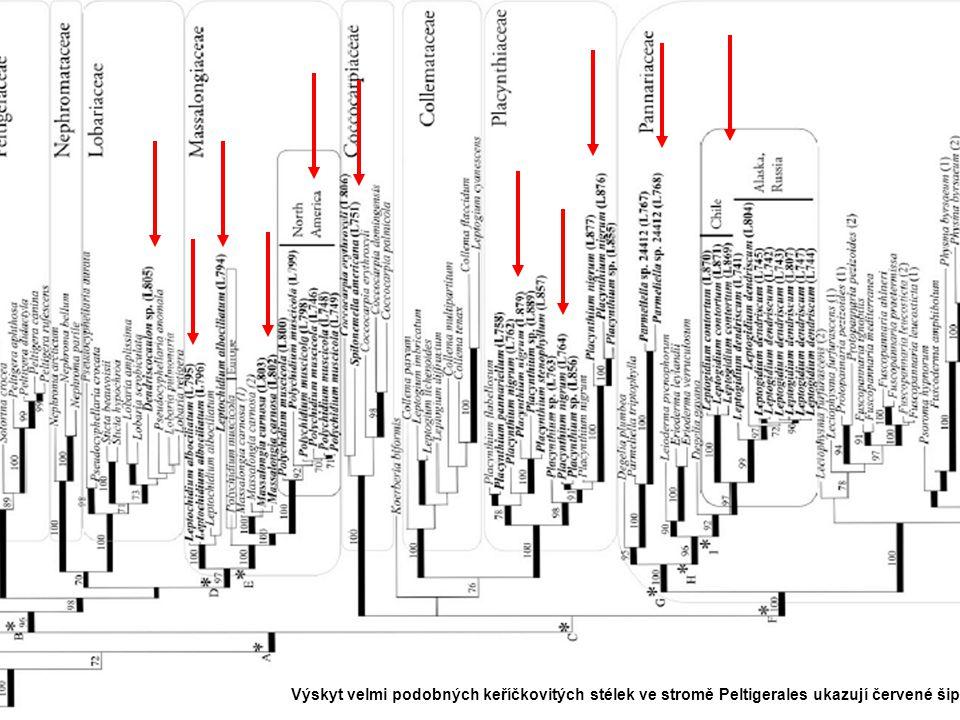 Lecanoromycetidae Výskyt velmi podobných keříčkovitých stélek ve stromě Peltigerales ukazují červené šipky.