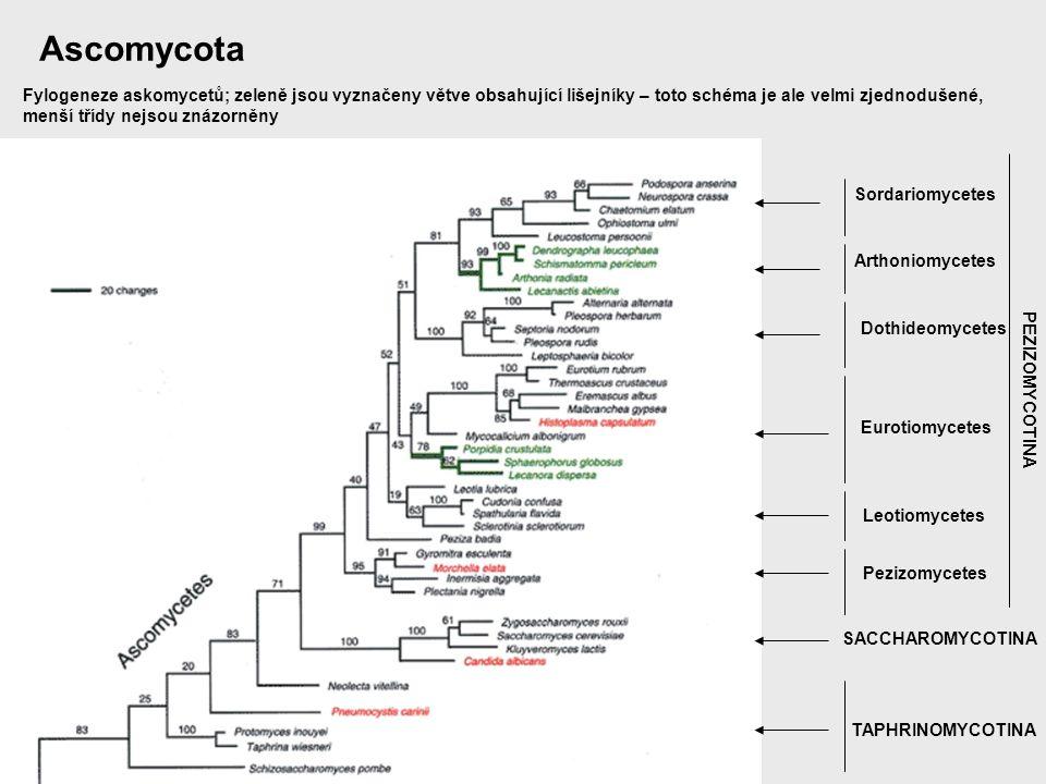 Ascomycota Fylogeneze askomycetů; zeleně jsou vyznačeny větve obsahující lišejníky – toto schéma je ale velmi zjednodušené,