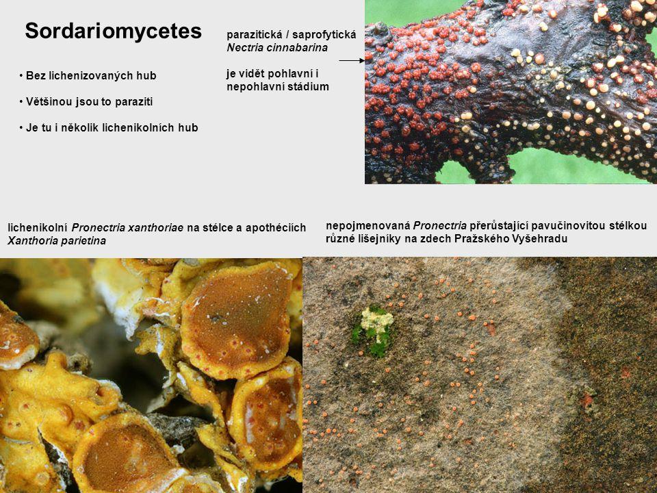 Sordariomycetes parazitická / saprofytická Nectria cinnabarina