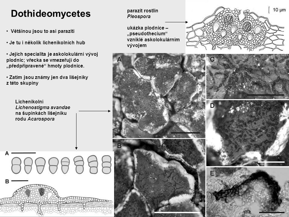 Dothideomycetes parazit rostlin Pleospora ukázka plodnice –