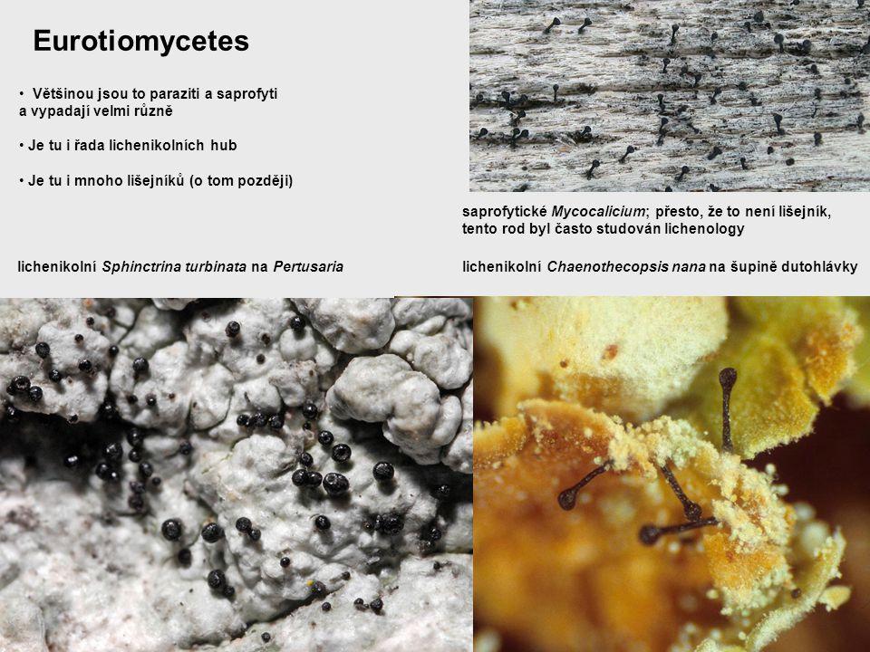 Eurotiomycetes Většinou jsou to paraziti a saprofyti