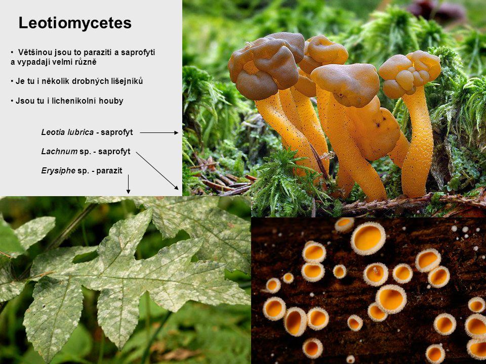 Leotiomycetes Většinou jsou to paraziti a saprofyti
