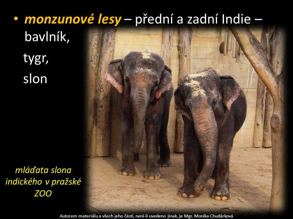 mláďata slona indického v pražské ZOO