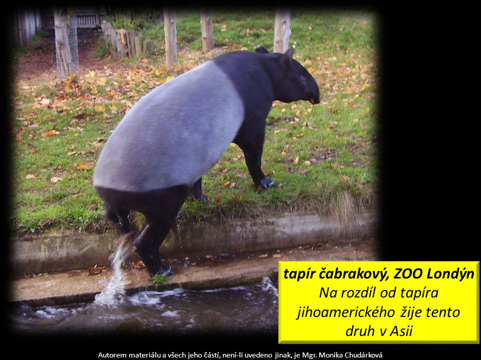 tapír čabrakový, ZOO Londýn