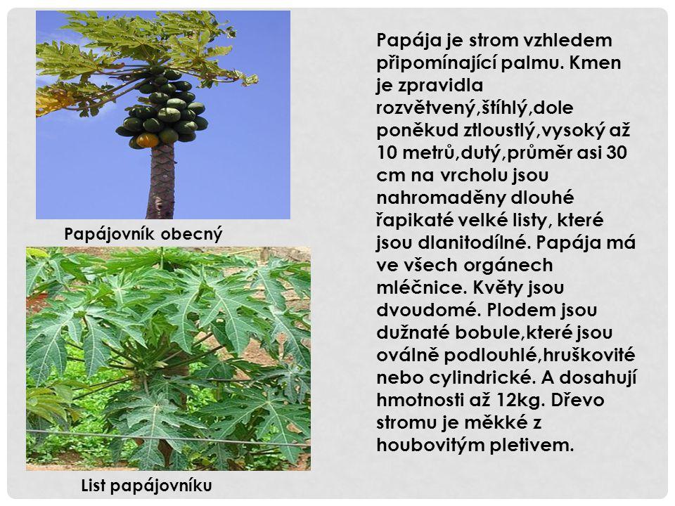 Papája je strom vzhledem připomínající palmu