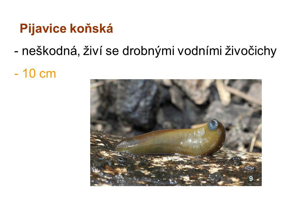 - neškodná, živí se drobnými vodními živočichy - 10 cm