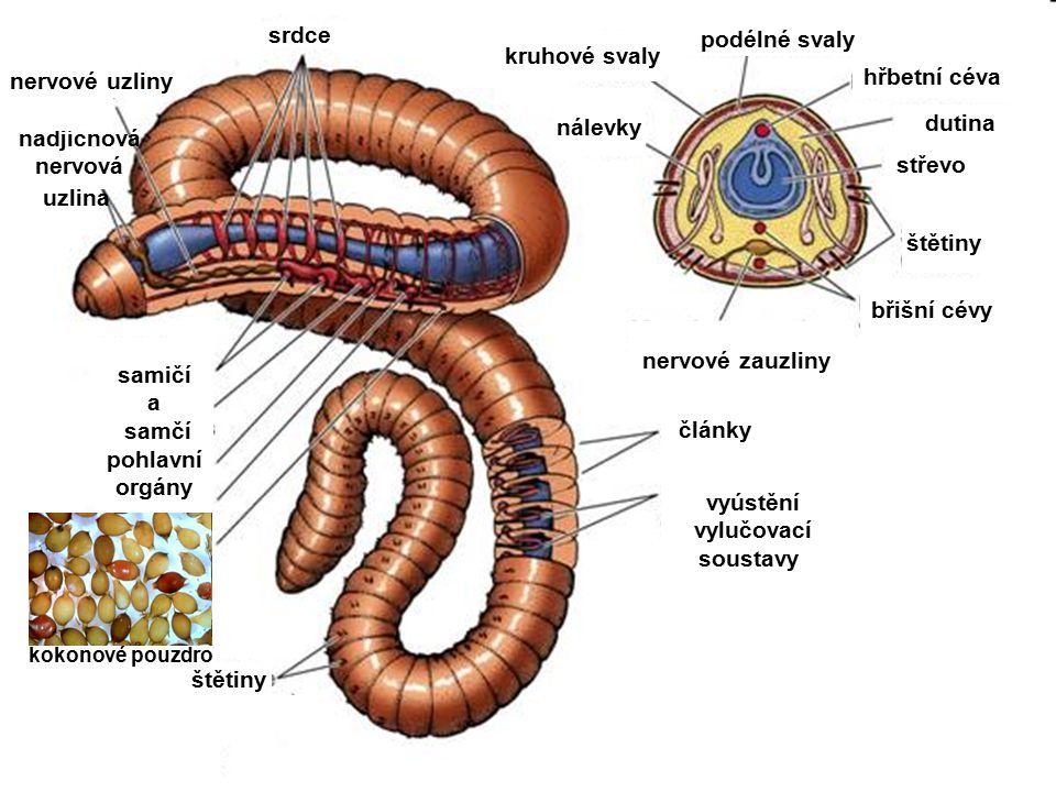 srdce podélné svaly kruhové svaly hřbetní céva nervové uzliny nálevky