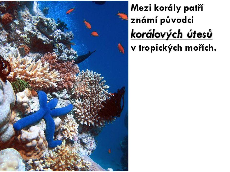Mezi korály patří známí původci korálových útesů v tropických mořích.