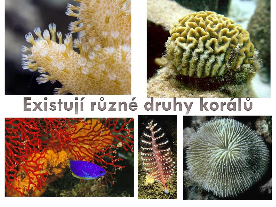 Existují různé druhy korálů