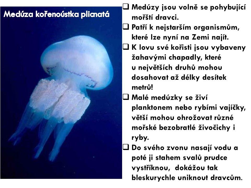 Medúza kořenoústka plicnatá