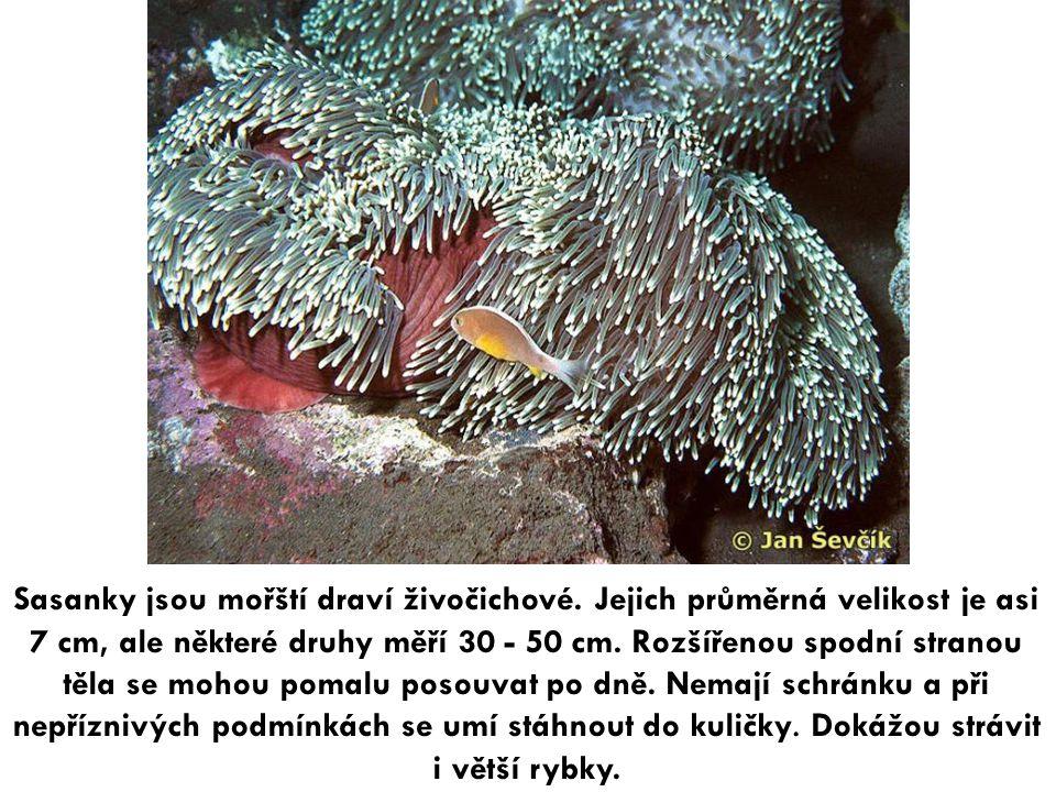Sasanky jsou mořští draví živočichové