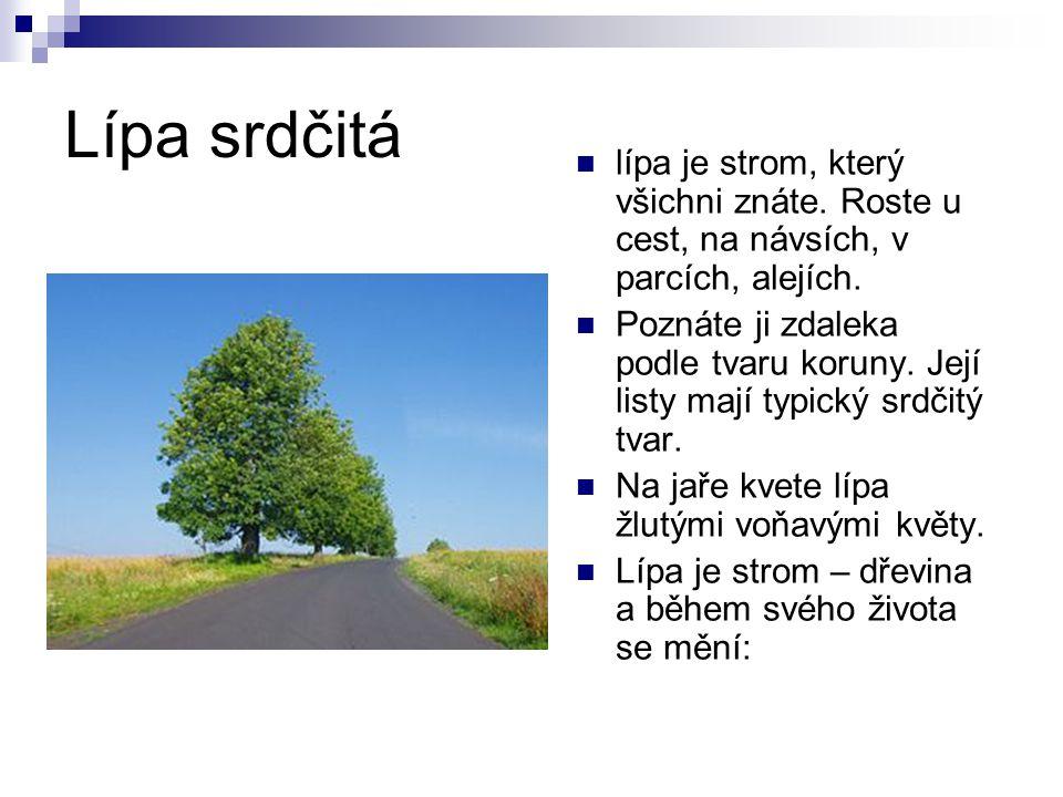 Lípa srdčitá lípa je strom, který všichni znáte. Roste u cest, na návsích, v parcích, alejích.